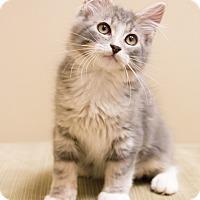 Adopt A Pet :: Purrington - Chicago, IL