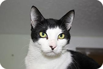Domestic Shorthair Cat for adoption in Venice, Florida - Gibson
