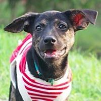 Adopt A Pet :: Zera - San Ramon, CA