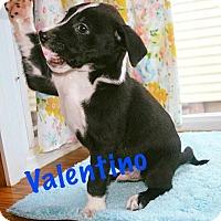Adopt A Pet :: Valentino - Durham, NC