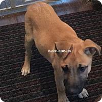 Adopt A Pet :: Bandit794 - Spring, TX