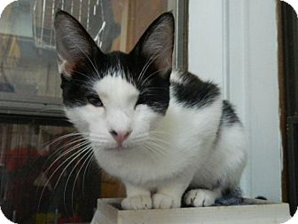 Domestic Shorthair Cat for adoption in The Colony, Texas - Gabriella