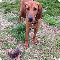 Adopt A Pet :: Glory Bee - Staunton, VA