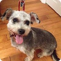 Schnauzer (Miniature)/Poodle (Miniature) Mix Dog for adoption in Redondo Beach, California - Slater