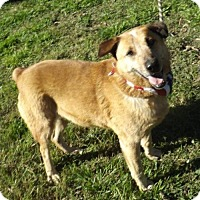Australian Cattle Dog Dog for adoption in Von Ormy, Texas - Redd(JM)