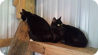 Domestic Shorthair Cat for adoption in Monterey, Virginia - Sarah- $25 adoption special