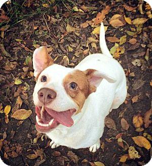 Beagle/Staffordshire Bull Terrier Mix Dog for adoption in Allen, Texas - Bella