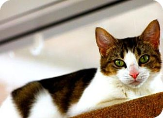 Domestic Shorthair Cat for adoption in Mesa, Arizona - jessey