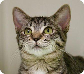 Domestic Shorthair Cat for adoption in Red Bluff, California - Matilda