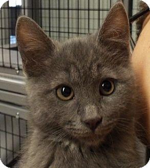 Domestic Shorthair Kitten for adoption in Grants Pass, Oregon - Elle