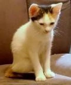 Turkish Van Kitten for adoption in Mission Viejo, California - Ariel
