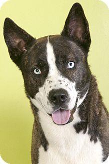 Husky/Akita Mix Dog for adoption in Chicago, Illinois - Frank