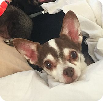 Chihuahua Dog for adoption in New York, New York - Bean