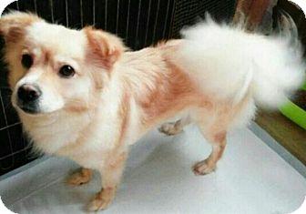 Papillon/Terrier (Unknown Type, Small) Mix Dog for adoption in Fairfax, Virginia - Faith