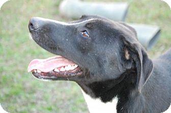 Labrador Retriever Mix Dog for adoption in Locust Fork, Alabama - Twix  Great Dog! Lower Fee!