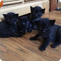 Adopt A Pet :: Karina's litter of 5 - Mount Laurel, NJ