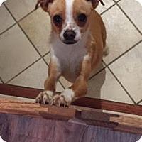 Adopt A Pet :: Babette - Westminster, CO
