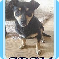 Adopt A Pet :: ADAM - Manchester, NH