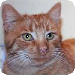 Domestic Shorthair Cat for adoption in St. Clements, Ontario - Finnegan