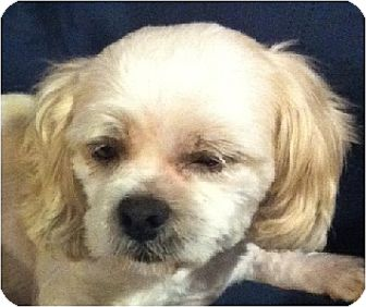 Lhasa Apso Dog for adoption in Mays Landing, New Jersey - Brady-PA