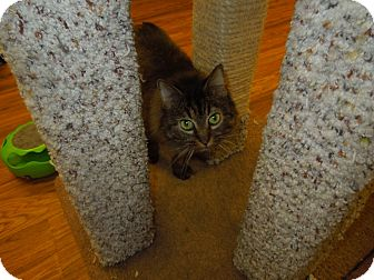 Domestic Mediumhair Cat for adoption in Medina, Ohio - Lyla