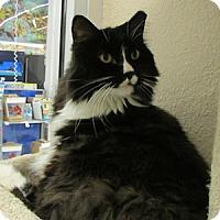 Adopt A Pet :: Mau Mau - Gilbert, AZ