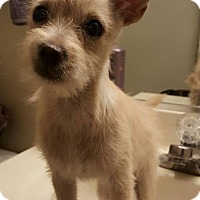Adopt A Pet :: Sunshine - Scottsdale, AZ