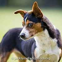 Beagle/Jack Russell Terrier Mix Dog for adoption in Conyers, Georgia - Baby Girl