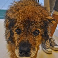 Chow Chow Mix Dog for adoption in Westbury, New York - Bagel