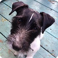 Adopt A Pet :: Nike - Pierrefonds, QC