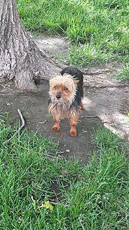 Yorkie, Yorkshire Terrier Dog for adoption in Broken Bow, Nebraska - Maddie Jo