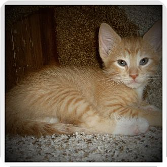 Domestic Shorthair Kitten for adoption in Medford, Wisconsin - MOJO