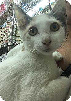Domestic Shorthair Kitten for adoption in New York, New York - *Courtesy Post*