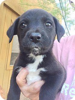 Border Collie/Australian Cattle Dog Mix Puppy for adoption in Cave Creek, Arizona - Talia