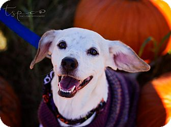 Beagle Mix Dog for adoption in Springfield, Missouri - Lacey Lace