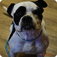 American Bulldog Dog for adoption in Seattle, Washington - Lolita