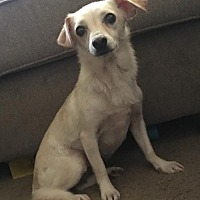 Adopt A Pet :: Priscilla - Dallas, TX