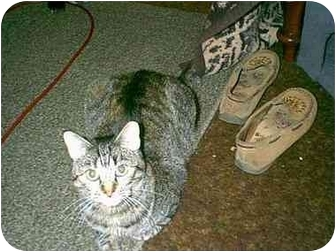 Domestic Shorthair Cat for adoption in Owasso, Oklahoma - Flower