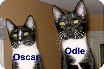 Domestic Shorthair Cat for adoption in Medway, Massachusetts - Oscar & Odie