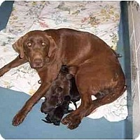 Adopt A Pet :: black pups males - Cumming, GA