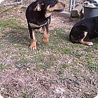 Adopt A Pet :: Missie - Danbury, CT