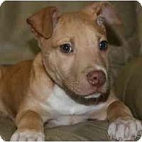 Adopt A Pet :: Gambit - DFW, TX