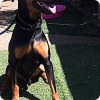 Adopt A Pet :: Dobie Gillis - Sun Valley, CA