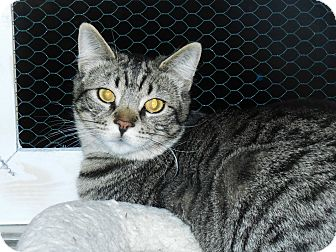 Domestic Shorthair Kitten for adoption in Whiting, Indiana - Benjie