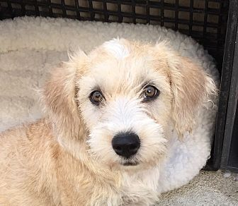 Miniature Poodle/Terrier (Unknown Type, Small) Mix Dog for adoption in Long Beach, California - Penny