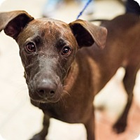 Adopt A Pet :: Colt - Minneapolis, MN
