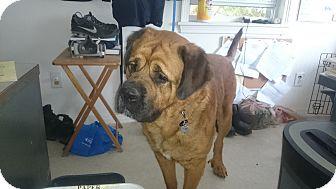 Mastiff/St. Bernard Mix Dog for adoption in Harrisburg, Pennsylvania - REX