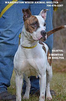 Boxer/Pointer Mix Dog for adoption in Washington, Georgia - Bristol
