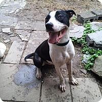 Adopt A Pet :: Bobo Brody - Blue Bell, PA