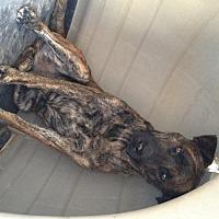 Adopt A Pet :: Tigre - La Mesa, CA